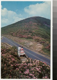 Rhododendron in bloom along the Skyline Drive, Virginia, circa 1950-1970