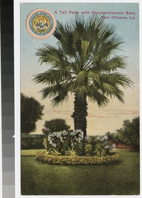 A tall palm with chrysanthemum base, New Orleans, Louisiana, 1907-1915