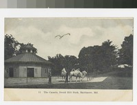 Camels in Druid Hill Park, Baltimore, Maryland, 1901-1907