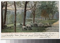 Sheep in Roger William's Park, Providence, Rhode Island, 1901-1906