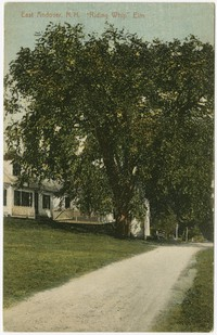 """Riding Whip"" elm, East Andover, New Hampshire, 1907-1914"