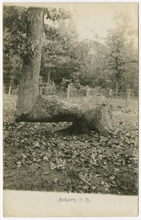 Tree, Auburn, New Hampshire, 1901-1907