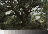 Powhatan Oak, Jamestown Exposition, Jamestown, Virginia, 1907