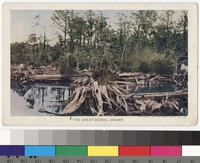 Great Dismal Swamp, near Suffolk, Virginia, 1907