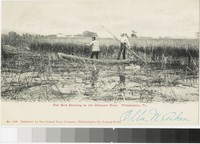 Rail bird shooting on the Delaware River, Philadelphia, Pennsylvania, 1901-1907
