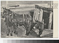 Horses coming out of mine, Wilkes-Barre, Pennsylvania, 1907-1914